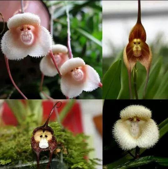 Orquidea mono.