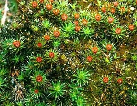 polytrichum junopernium