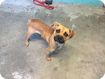 Bishopville, SC - Pug/Beagle Mix. Meet Hamilton, a dog for adoption. http://www.adoptapet.com/pet/16891760-bishopville-south-carolina-pug-mix