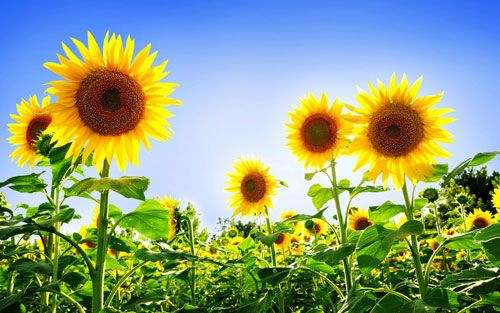 So while our beautiful sunflowers were planted purely for aesthetic purposes, they have transcended their initial purpose and become a wonderfully vivid reminder of the magnificence and profundity of having this liberating and world saving information in the world now and particularly in my life.