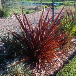 Flamin' with is vivid red foliage