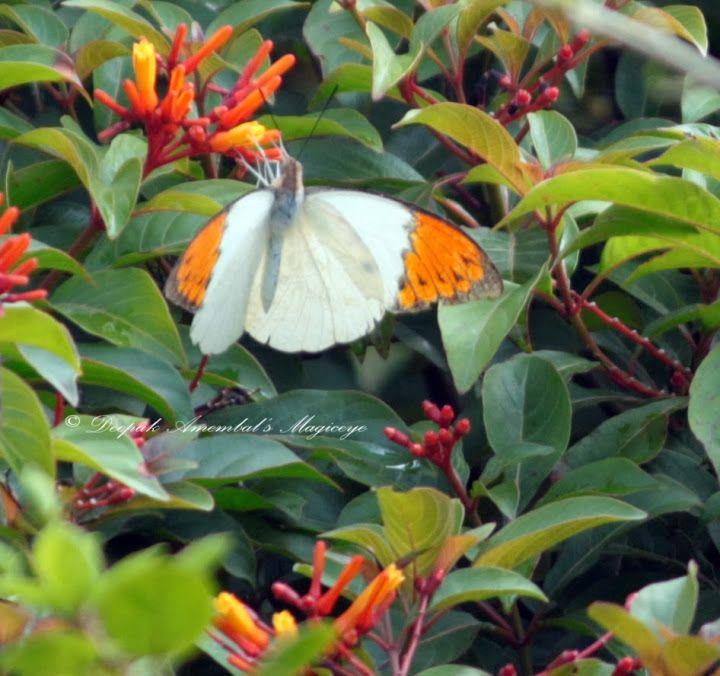 Orange tip butterfly in Sanjay Gandhi National Park, Mumbai