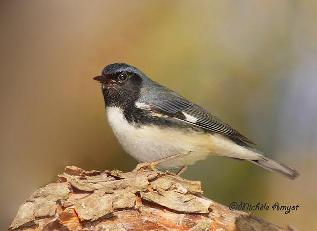 Paruline bleue / Black-throated blue warbler - Male by mitch099, via Flickr