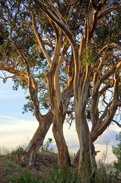 Canberra: late afternoon light on eucalypts