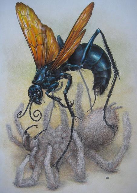 Tarantula Hawk Wasp by C.Nahaboo
