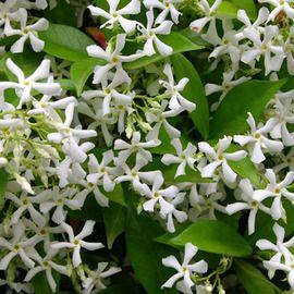 JASMIN PERSISTANT Grimpante à floraison estivale très parfumée. Feuillage persistant.