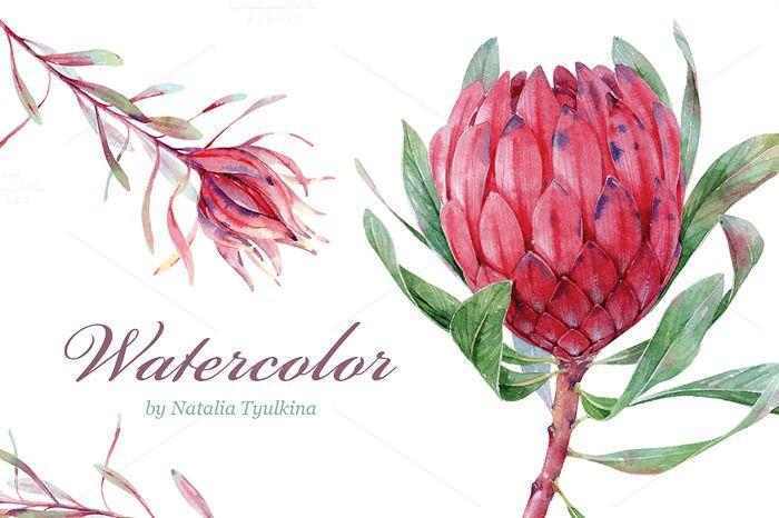 Watercolor Protea & Leucadendron by Natalia Tyulkina on Creative Market
