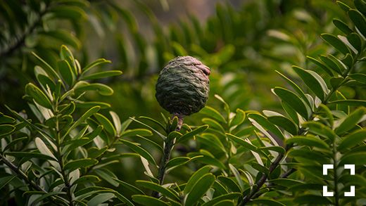 Kauri is a native New Zealand tree that grows in the warm, northern part...