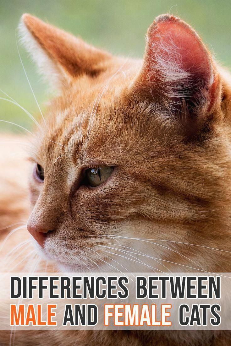 What Are The Differences Between Male And Female Cats Catfacts Male Vs Female Cats Cat Behavior