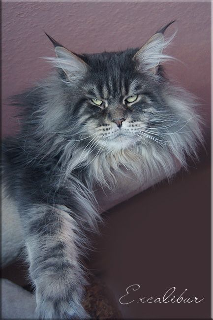 Excalibur, 3 years old Maine Coon. I love his look. http://www.langstteichs.de/01-kater.html http://www.mainecoonguide.com/male-vs-female-maine-coons/