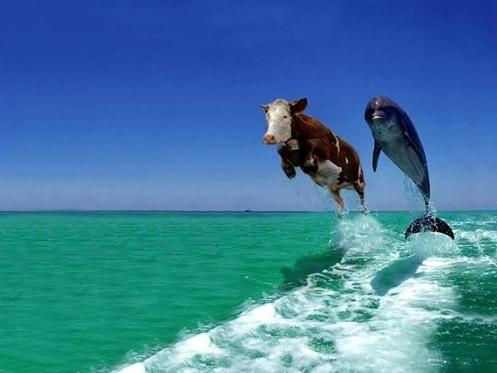 Now I know how the cow jumped over the moon - it was the moon's reflection in the water. But how did the dolphin teach the cow to swim and leap like this?