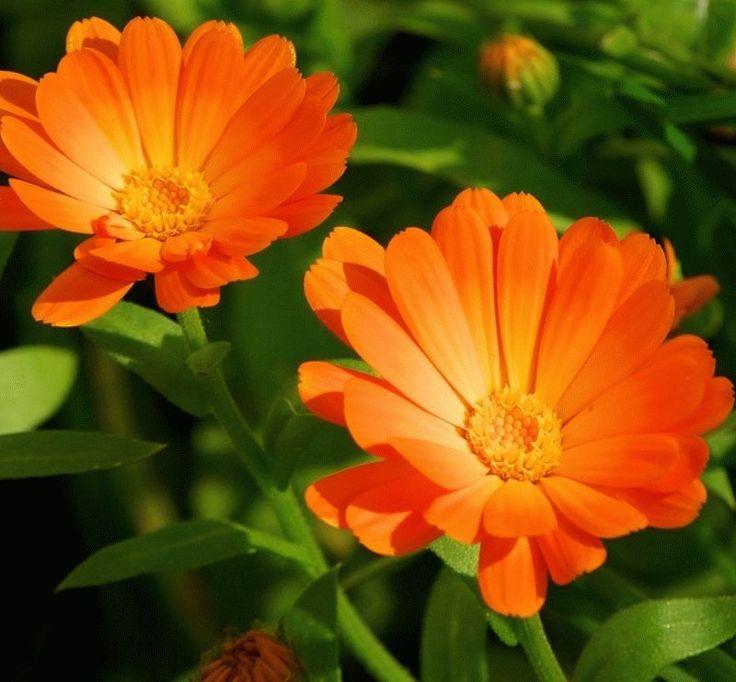 календула цветок солнца