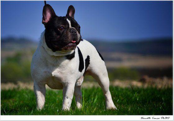 HorváthTimcsii . című képe az Indafotón. Francia bulldog