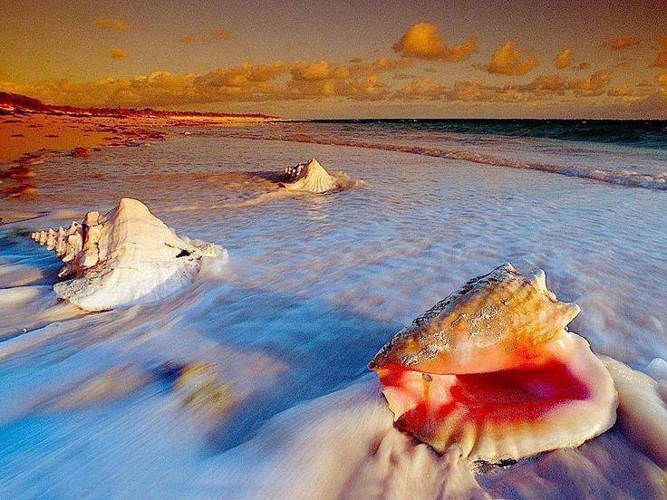 09de665dc1e244f287d6ad84dd807a6b--conch-shells-sea-shells.jpg