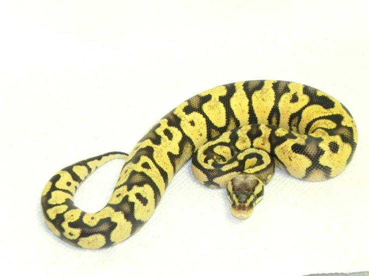 Snakes at Sunset - Pastel Yellowbelly Ball Python for sale (Python regius), $99.99 (http://snakesatsunset.com/pastel-yellowbelly-ball-python-for-sale-python-regius/)