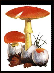 Nome scientifico: Amanita caesarea  Nome comune: Ovulo buono  Mesi: da Luglio a Settembre  Descrizione: sotto querce e castagni; lamelle giallo-oro; l'anello, finemente striato, comincia dall'inserzione del gambo sul cappello; bordo del cappello chiaramente striato.  Larghezza: cm 10-18  Altezza: cm 3-13 (16)  Commestibile