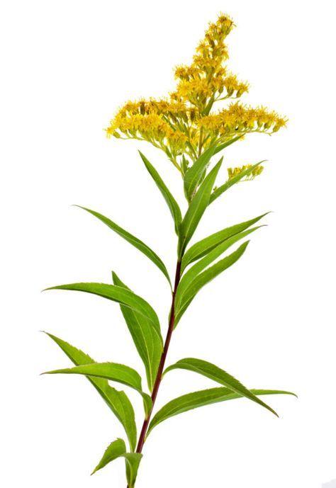Gärtnern gilt die Kanadische Goldrute als wuchernder Neophyt. Sie hat aber auch viele positive Eigenschaften und du kannst sie für die Gesundheit nutzen!