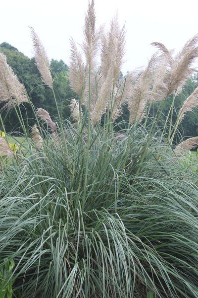 Plume Delight Pampas Grass for sale buy Cortaderia pilosa var. minima 'Plume Delight'