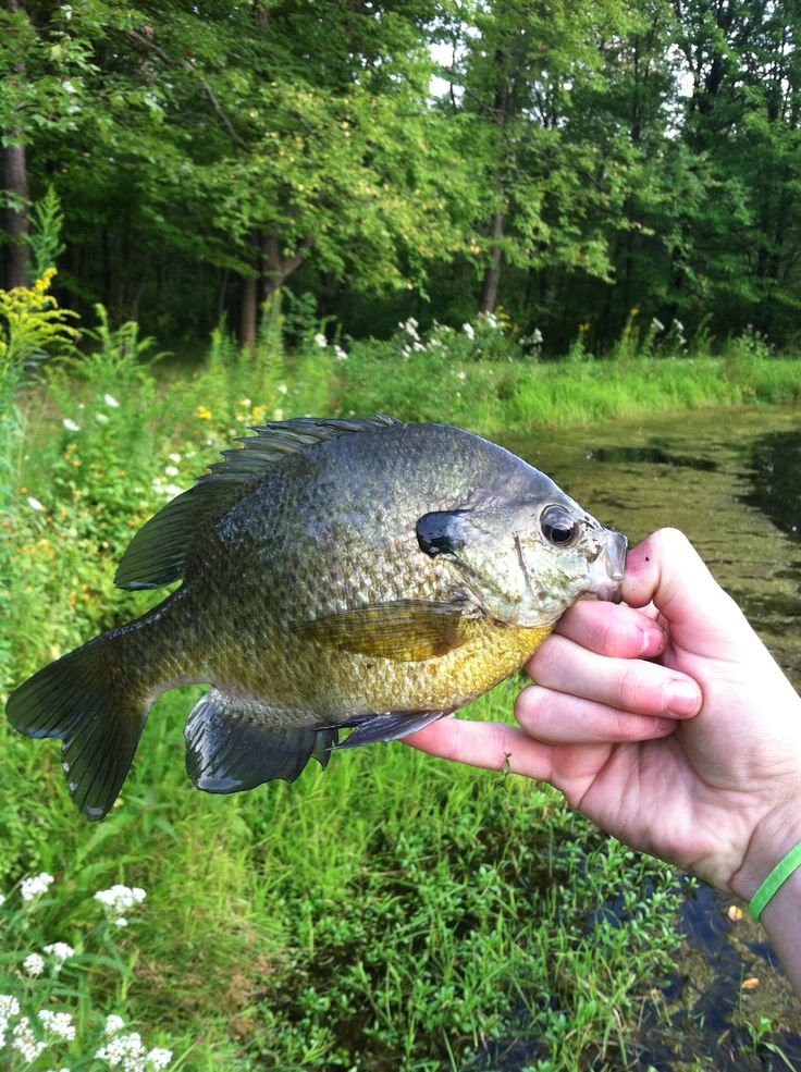 Pretty big pond bluegill hunting fishing pinterest for Big pond fish