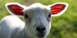 Demand Argentina's shearing crews to stop inhumane treatment of lambs and sheep.- JUNE 2016