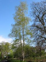How to grow silver birch (Betula pendula)