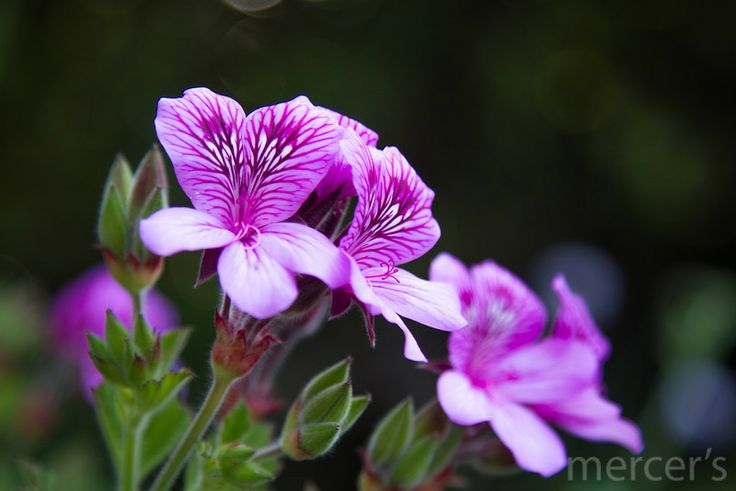 Hooded-leaf pelargonium