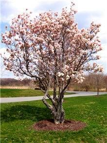 Jane Magnolia Trees for Sale | Fast Growing Trees