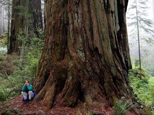 Redwoods, Crescent City, 2005 (Nick Sabadosh)