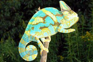 Veiled Chameleon.