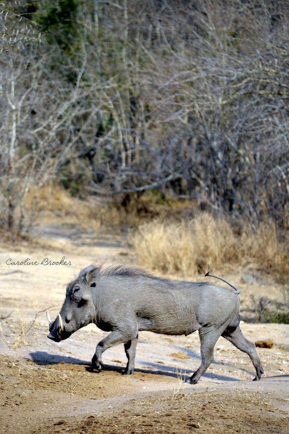 Warthog (Phacochoerus Africanus)- Caroline Brooker   Please see  http://animals.nationalgeographic.com/animals/mammals/warthog/