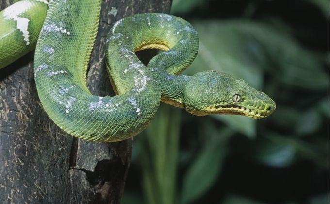 エメラルドツリーボアの特徴と飼育方法を紹介 グリーンパイソンとの違いやどんな性格をしているの Woriver トカゲ ヤモリ ヘビ アナコンダ