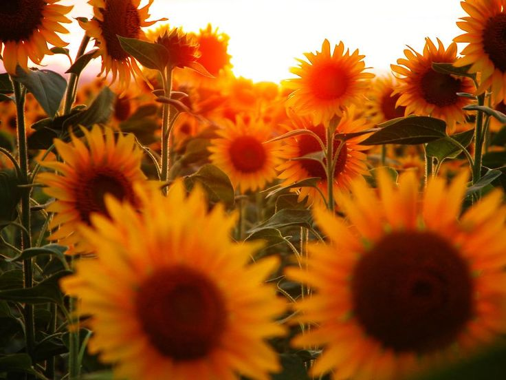 Free Picture > Flower Sunflower pictures