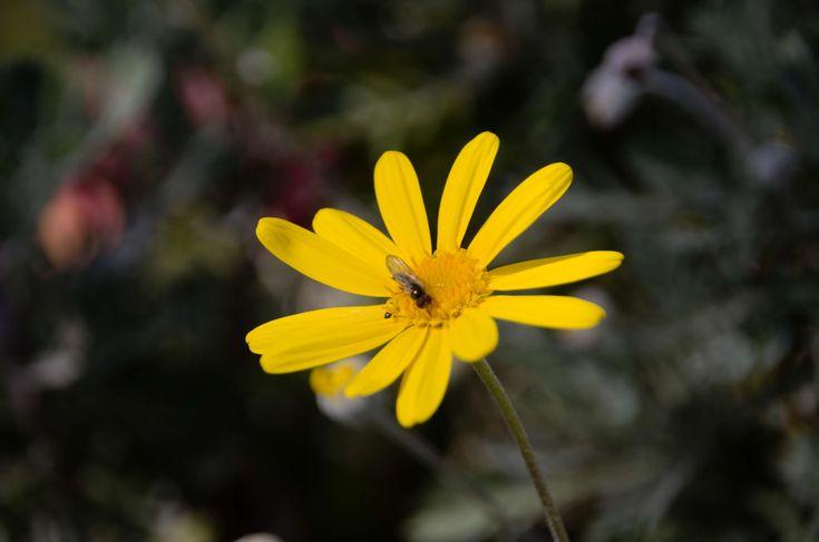 #arnica #botanique #entomologie #faune #fleur #fleur jaune #flore #insecte #la nature #ptales jaunes #vie sauvage