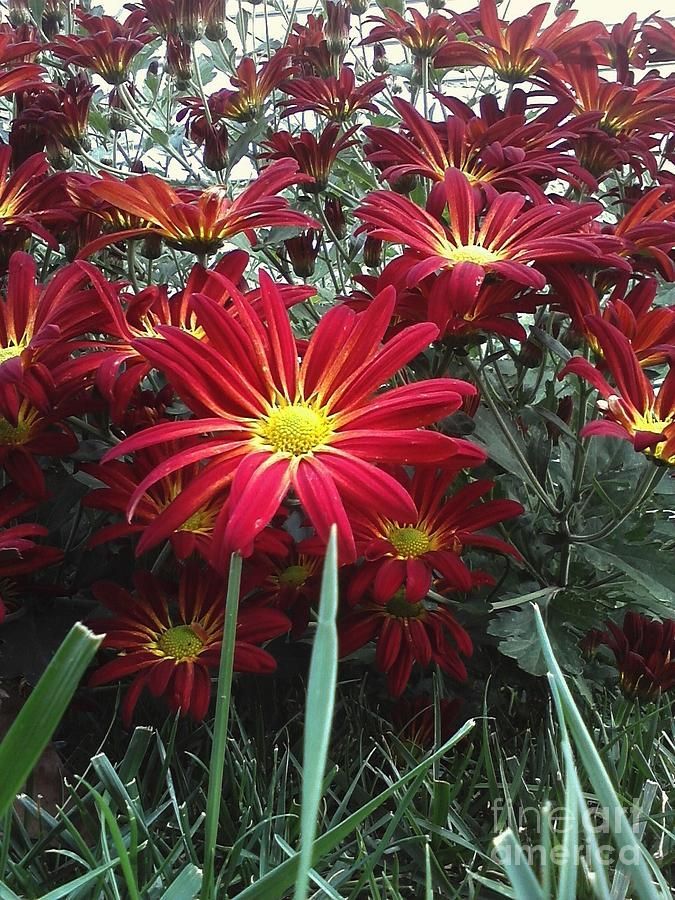 Red Chrysanthemums Photograph  - By Holly Carmichael... Red Chrysanthemums Fine Art Prints avail
