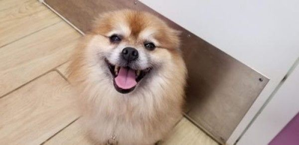 Simba Pomeranian Dog For Adoption In Seminole Florida Dog