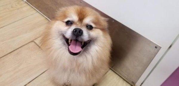 Simba Pomeranian Dog For Adoption In Seminole Florida Rescue Dogs For Adoption Dog Adoption Pomeranian Rescue