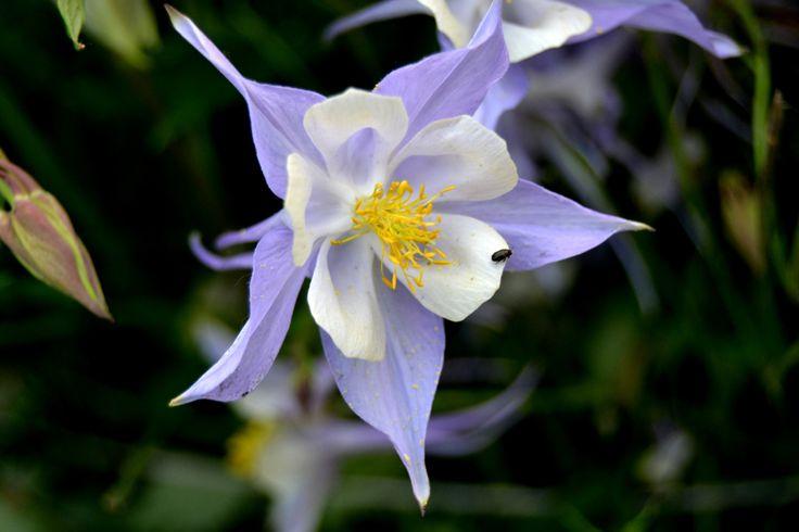 Аквилегия, водосбор – волшебный цветок эльфов