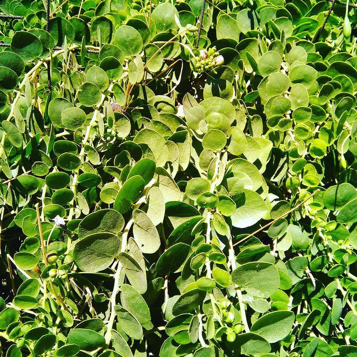 Wild caper growing in Greece. The leaves are placed in vinegar, like the fruit, and are eaten in salads. Very rich in antioxidants! #herbsasfood #herbs #foraging #vegan #vegeterian #glutenfree #herbalmedicine #ig_greece #antioxidants #healthycooking