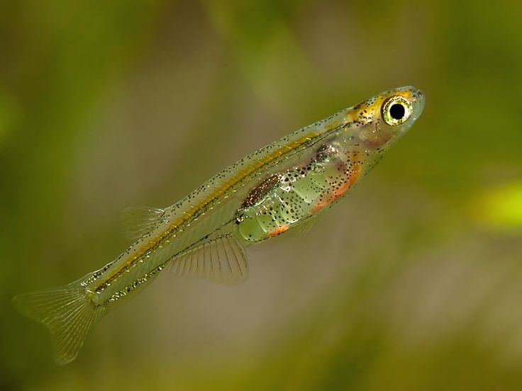 1000 images about tiny fish for tiny tanks on pinterest for Good freshwater fish