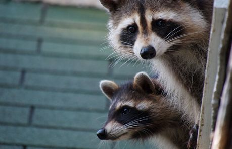 A Few Essential Tips To Keep Raccoons Out Of A Trash