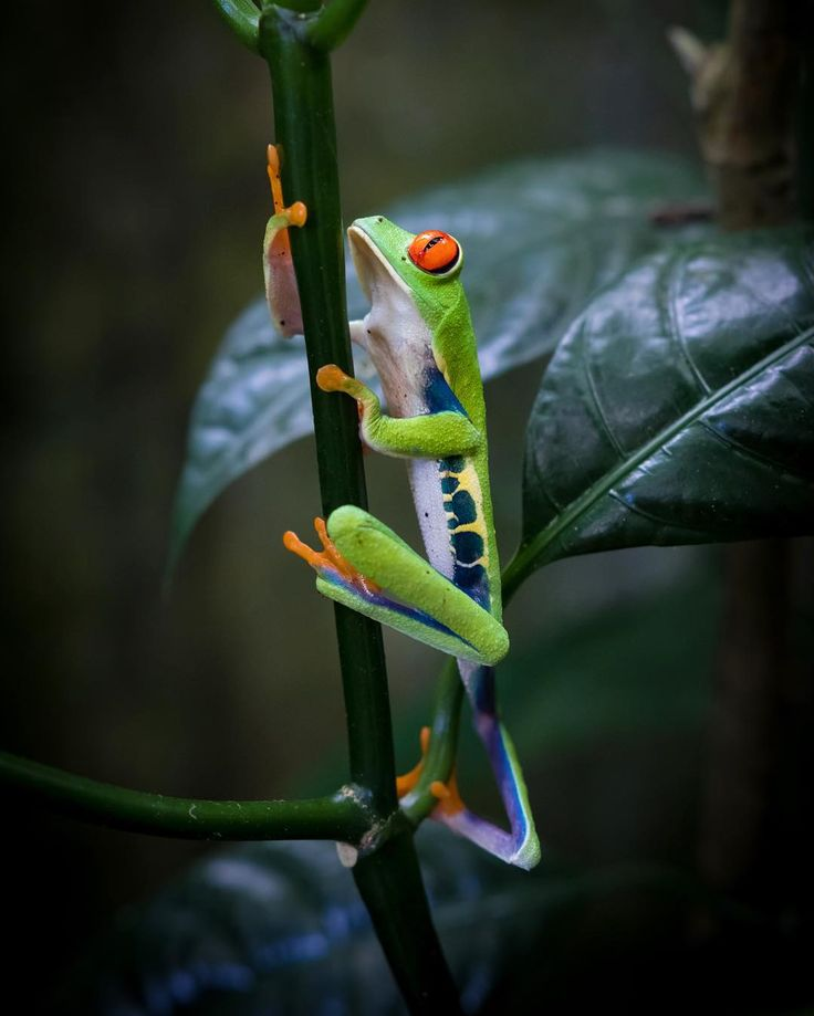 Red-eyed tree frog is found in the rainforests throughout Central America. See this guy on your next trip to Central America. Call to customize your next vacation/holiday +1-844-9-UNPLUG or visit centralamericavacation.com to learn more.