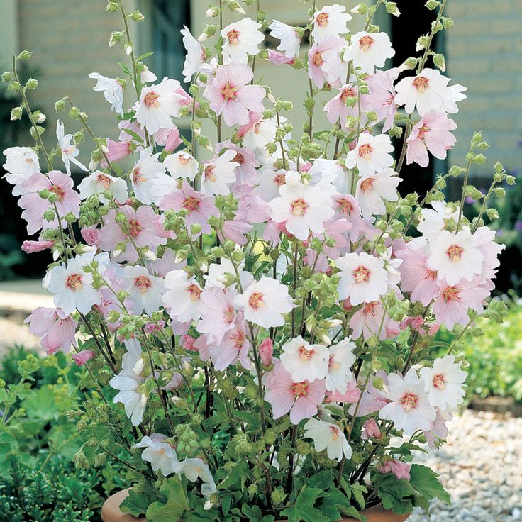 Lavatera x clementii 'Barnsley Baby' (Large Plant) - Shrubs & Roses - Thompson & Morgan