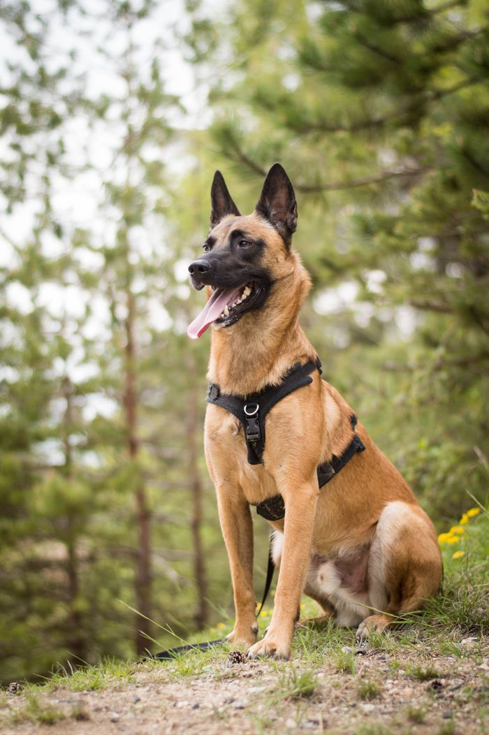 german shepherd belgian malinois best 25 belgian malinois ideas on pinterest belgian 4733