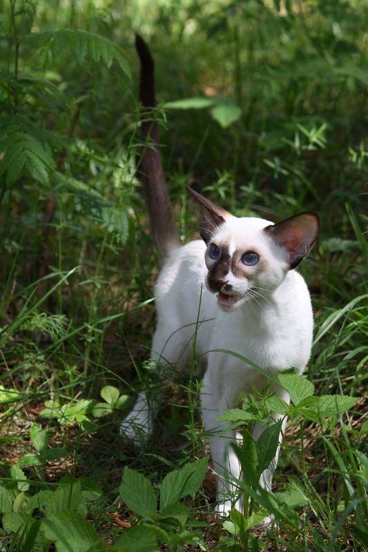 сейшельские окрасы   SiaOriMania — ориентальные, сиамские кошки — продажа котят. Сиаоримания.