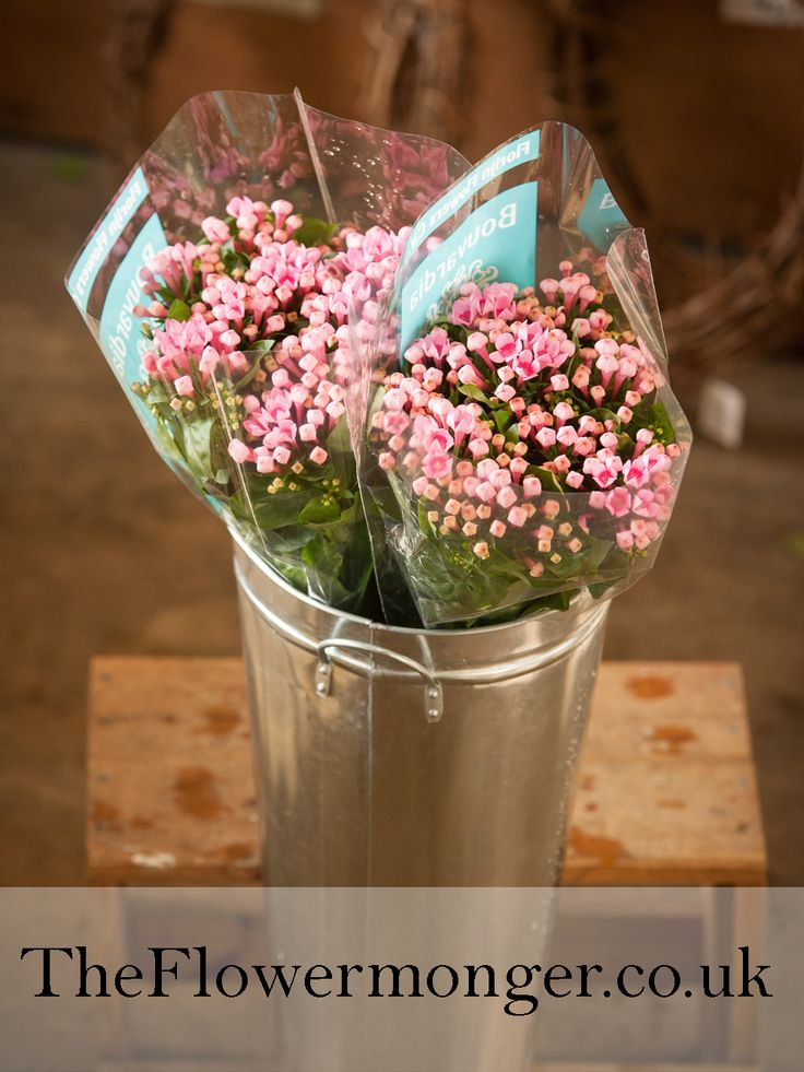 Bouvardia in Pink. Available in bunches of 10 stems from The Flowermonger, the wholesale floral home delivery service.