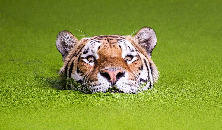Tiger in the green by Søren Nielsen on 500px