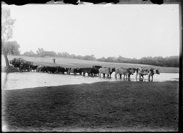 230814PD: Bullock team pulling wool bales across a river, possibly near Derby, ca. 1898. https://encore.slwa.wa.gov.au/iii/encore/record/C__Rb3769089