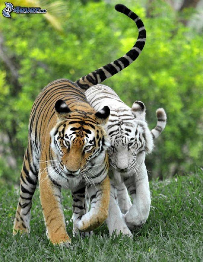 tigre, tigre blanc... Bonjour, après une grosse nuit, j'ai réussi à sortir de mon lit... Grosse journée aujourd'hui, entre le boulot et différents rdv perso. Je pense fort à toi