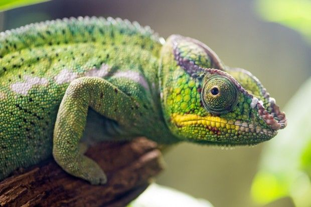 Panther chameleon profile by Tambako the Jaguar Download image description Free for commercial use,  Some Rights Reserved.  Please keep attribution to the download link from Flickr.