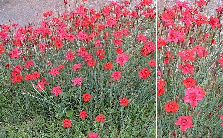 KETONEILIKKA Dianthus deltoides ´ Brilliant ´ korkeus:     15 cm kukkii : kesä - elokuussa valontarve: aurinko - puolivarjo kasvumaa kuiva , läpäisevä , hiekkamulta Mattokasvi rinteille ja kivikkoihin. Kukkii runsaasti ja pitkään. Osittain ikivihreä , peittävä lehdistö. Kukat sulkeutuvat yöksi. Hyvä leviävyys. Sopii myös kedoille ja reunuskasviksi perennapenkkeihin.